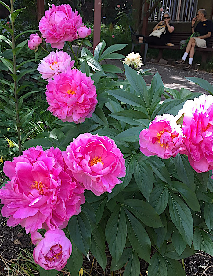 peonies and nature lovers
