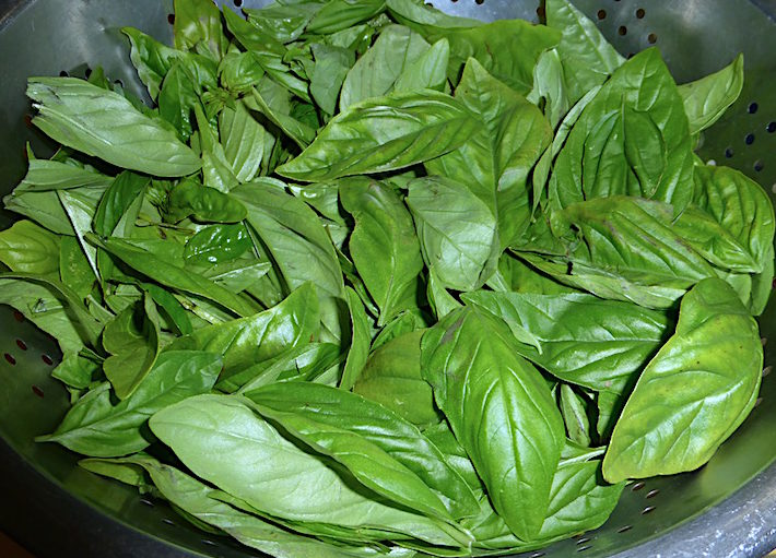 Clean basil ready to be turned into pesto